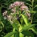 Eutrochium - Photo (c) Damon Taylor, algunos derechos reservados (CC BY-NC-SA)