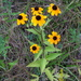 Brown-eyed Susan - Photo (c) Rob Curtis, some rights reserved (CC BY-NC-SA)