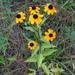 Rudbeckia triloba - Photo (c) Rob Curtis, μερικά δικαιώματα διατηρούνται (CC BY-NC-SA)