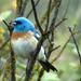 Colorín Pecho Canela - Photo (c) Maggie.Smith, algunos derechos reservados (CC BY-NC)