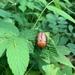 Cosmiomorpha modesta - Photo (c) novnic,  זכויות יוצרים חלקיות (CC BY-NC)