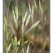 Great Brome - Photo (c) Alison Sheehey, some rights reserved (CC BY-NC-ND), uploaded by Nature Ali