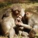 Macacos, Colobos Y Babuinos - Photo (c) Subhadra Devi, algunos derechos reservados (CC BY)