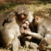 Old World Monkeys - Photo (c) Subhadra Devi, some rights reserved (CC BY)