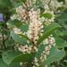 Fallopia japonica compacta - Photo (c) harum.koh, μερικά δικαιώματα διατηρούνται (CC BY-SA)