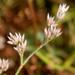 Polycarpaea - Photo (c) J.M.Garg, algunos derechos reservados (CC BY)