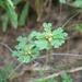 Biophytum umbraculum - Photo (c) Marco Schmidt, alguns direitos reservados (CC BY-NC-SA)