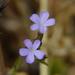 Buchnera hispida - Photo (c) Dinesh Valke, algunos derechos reservados (CC BY-NC-SA)