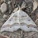 Macaria lorquinaria - Photo (c) Jim Johnson, algunos derechos reservados (CC BY-NC-ND)