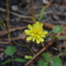Hieracium - Photo (c) Nate Hartley,  זכויות יוצרים חלקיות (CC BY-NC)