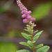 Spiraea - Photo (c) Susan Elliott, algunos derechos reservados (CC BY-NC)