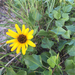 Beach Sunflower - Photo (c) lorax32, some rights reserved (CC BY-NC), uploaded by Sam Ashley