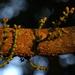 Gnetum edule - Photo (c) sandeep75, algunos derechos reservados (CC BY-NC)