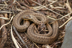 Smooth Snake - Photo (c) Daniel Branch, some rights reserved (CC BY-NC)