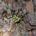 Araneus seminiger - Photo (c) Lijin Huang (紫楝),  זכויות יוצרים חלקיות (CC BY-NC)