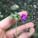 Mirabilis melanotricha - Photo (c) Marissa, algunos derechos reservados (CC BY-NC)