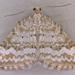 Perizoma albulata - Photo (c) Janet Graham,  זכויות יוצרים חלקיות (CC BY)