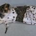 Furcula bicuspis - Photo (c) Janet Graham,  זכויות יוצרים חלקיות (CC BY)