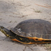 Chicken Turtle - Photo (c) Mary Keim, some rights reserved (CC BY-NC-SA)