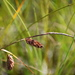 Russet Sedge - Photo (c) sydcannings, some rights reserved (CC BY-NC)