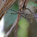 Southern Evening Darner - Photo (c) deborod, some rights reserved (CC BY-NC)