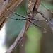 Telephlebia brevicauda - Photo (c) deborod, algunos derechos reservados (CC BY-NC)
