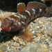 Gobius cruentatus - Photo (c) Pierre Rouillan, algunos derechos reservados (CC BY)