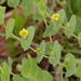 Baptisia perfoliata - Photo (c) Mary Keim, osa oikeuksista pidätetään (CC BY-NC-SA)