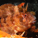 Tompot Blenny - Photo (c) Philippe Guillaume, some rights reserved (CC BY-NC)