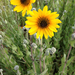 Ashy Sunflower - Photo (c) Marlo Perdicas, some rights reserved (CC BY)