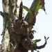 Myrmecodia beccarii - Photo (c) David Midgley, some rights reserved (CC BY-NC-ND)