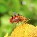 Tachininae - Photo (c) Laura Gaudette, alguns direitos reservados (CC BY)