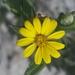Pityopsis graminifolia latifolia - Photo (c) Jay Horn, algunos derechos reservados (CC BY)
