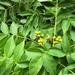 Phellodendron amurense - Photo (c) Andrii Churilov, algunos derechos reservados (CC BY-NC)