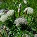 Neogaya simplex - Photo (c) frahome, algunos derechos reservados (CC BY-NC)