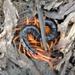 Scolopendra spinosissima - Photo (c) Kritsada Moomuang, μερικά δικαιώματα διατηρούνται (CC BY-NC)