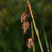 Boreal Bog Sedge - Photo (c) Rob Routledge, some rights reserved (CC BY-NC)