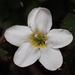 Ellisiophyllum pinnatum - Photo (c) 葉子,  זכויות יוצרים חלקיות (CC BY-NC-ND)