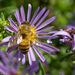 Symphyotrichum pratense - Photo (c) Earl McGehee, algunos derechos reservados (CC BY-NC-ND)