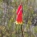 Blandfordia grandiflora - Photo (c) Ethan Beaver, algunos derechos reservados (CC BY-NC)