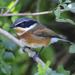Batis capensis - Photo (c) andrewhodgson, algunos derechos reservados (CC BY-NC)