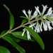 Ligustrum obtusifolium - Photo (c) Doug Goldman, algunos derechos reservados (CC BY)