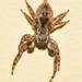 Araña Saltarina Parda - Photo (c) Ricardo Arredondo T., algunos derechos reservados (CC BY-NC)