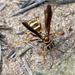 Poecilopompilus - Photo (c) aarongunnar,  זכויות יוצרים חלקיות (CC BY)