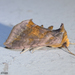 Unspotted Looper Moth - Photo (c) Susan Elliott, some rights reserved (CC BY-NC)