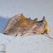 Allagrapha aerea - Photo (c) Susan Elliott, algunos derechos reservados (CC BY-NC)