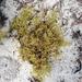 Paronychia chartacea chartacea - Photo (c) Valerie Anderson, osa oikeuksista pidätetään (CC BY)
