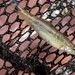 Colorado River Speckled Dace - Photo (c) Corey Lange, some rights reserved (CC BY-NC)