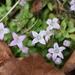 Oldenlandia salzmannii - Photo (c) Sebastián Lescano,  זכויות יוצרים חלקיות (CC BY-NC)