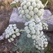 Moon Carrot - Photo no rights reserved
